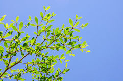 Z kości słoniowej wybrzeża migdałowy drzewo Fotografia Stock