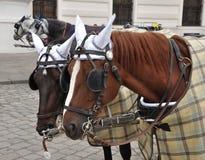 Z nicielnicą Brown konie Fotografia Stock
