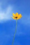 Z niebieskiego nieba jasnym tłem pojedynczy żółty kwiat Zdjęcie Royalty Free