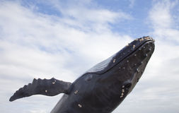 Z niebieskim niebem Humpback wieloryb zdjęcie royalty free