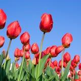 Z niebieskim niebem tulipanu czerwony attach obrazy royalty free