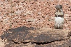 Z ochraniaczami antylopy pozycja Zmielona Wiewiórcza Fotografia Stock