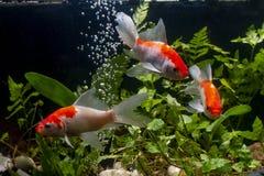 Z?oci?ci koi ryby fantazji japanis na czarnym tle zdjęcie stock
