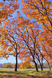 Złoci jesieni drzewa Fotografia Stock