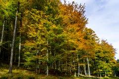 Złoci jesienni drzewa w lesie, natura Zdjęcia Stock