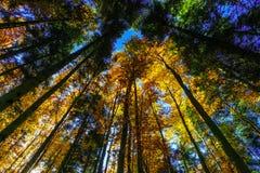 Złoci jesienni drzewa w lesie, natura Zdjęcie Stock