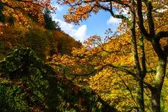 Złoci jesienni drzewa w lesie, natura Obrazy Royalty Free