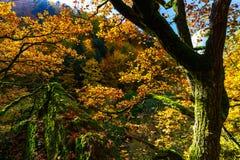 Złoci jesienni drzewa w lesie, natura Fotografia Stock