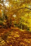 Złoci jesienni drzewa w lesie, natura Obrazy Stock