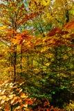 Złoci jesienni drzewa w lesie, natura Zdjęcie Royalty Free