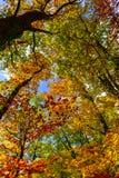 Złoci jesienni drzewa w lesie, natura Fotografia Royalty Free
