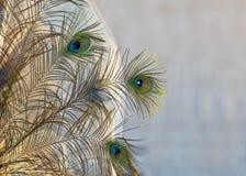 Złoci Pawi Piórka Obraz Royalty Free