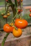 Złoci pomidory Zdjęcie Stock
