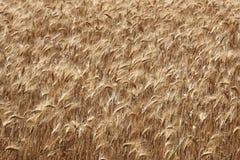 Złoci pszeniczni ucho Zdjęcie Stock