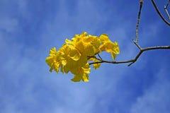 Złoci Tubowego drzewa kwiaty Fotografia Royalty Free