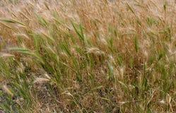 Złocista i zielona trawa Zdjęcie Stock