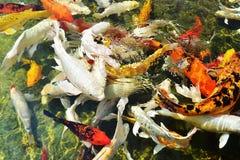 Złocista koi ryba, Cyprinus Carpio Fotografia Stock