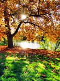 Złocisty drzewo Zdjęcie Royalty Free