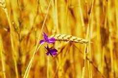 Złocisty koloru spica, kwiat i Zdjęcie Stock