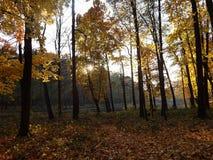 Złocisty las Obraz Royalty Free