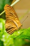 Złocisty motyl Zdjęcie Royalty Free
