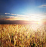 Złocisty pszeniczny pole Zdjęcie Stock