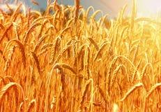 Złocisty pszeniczny pole Obrazy Stock