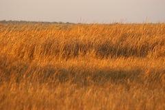 złota 01 trawy. Obrazy Stock