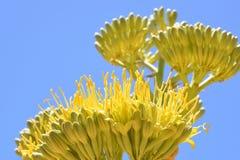Złota agawa kwitnie przeciw niebieskiemu niebu Fotografia Stock