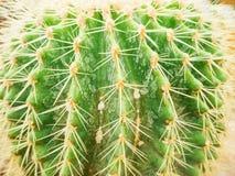 Złota balowa kaktusowa tekstura Zdjęcia Royalty Free
