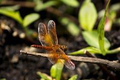 Złota barwiona smok komarnica zdjęcia royalty free