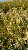 Złota grzechotnik trawa Zdjęcie Stock