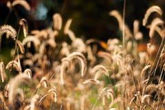 Złota jesieni trawa zdjęcie stock
