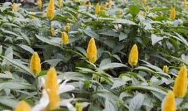 złota kwiat garnela Fotografia Stock