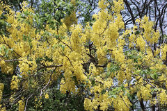 złota kwiat prysznic Fotografia Royalty Free