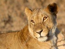 Złota lwica Obraz Stock