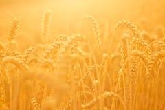 złota pola pszenicy Obrazy Stock