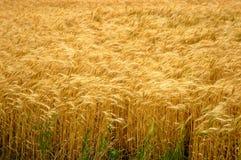 złota pola pszenicy Zdjęcie Stock