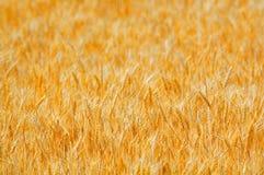 złota pola pszenicy Obraz Royalty Free