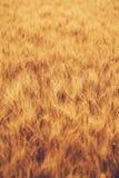 złota pola pszenicy fotografia royalty free