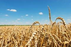 złota pola pszenicy obrazy royalty free