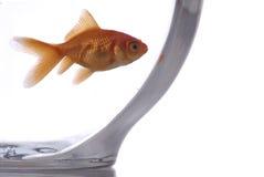 złota rybka Obrazy Royalty Free