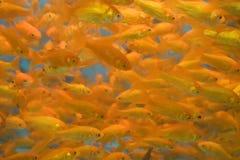 złota rybka Zdjęcia Royalty Free