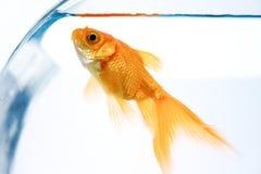 złota rybka zdjęcia stock