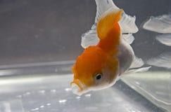 złota rybka Obraz Royalty Free