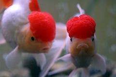 złota rybka Fotografia Stock