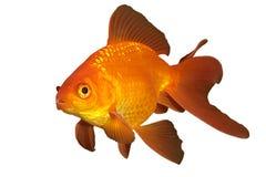 złota rybka Zdjęcie Stock