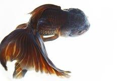 złota rybka obraz stock