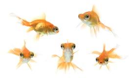 złota rybka demekin serii Obrazy Stock