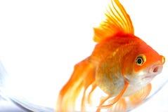 złota rybka fantail Fotografia Royalty Free